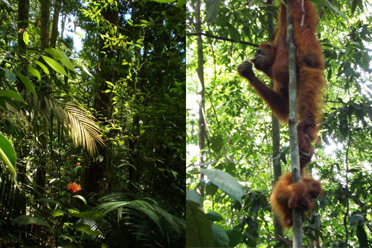 Bukit Lawang, la jungle