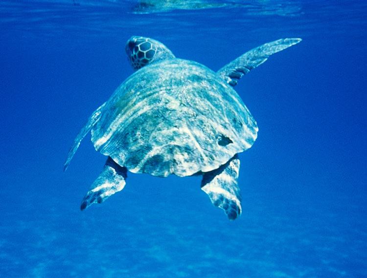 Grande tortue marine Caretta caretta