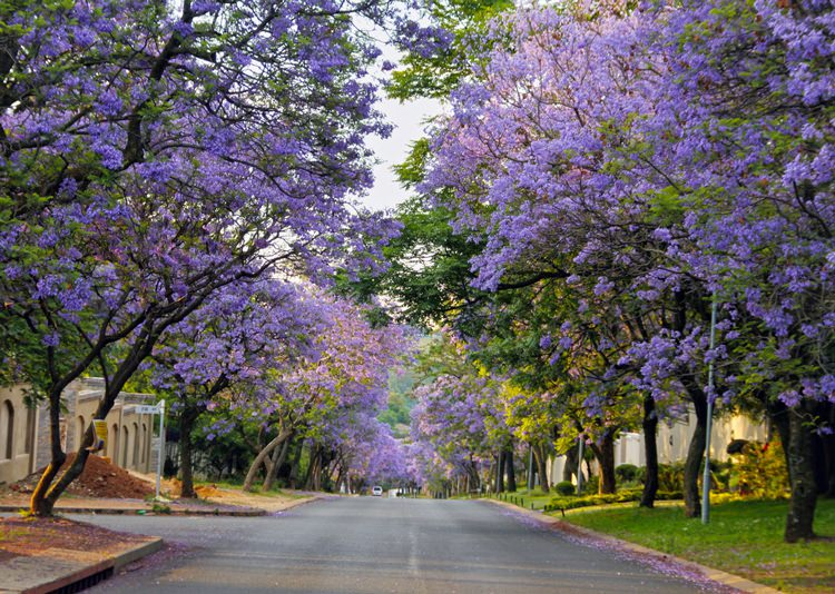 Street lined with Jacarandas, Joburg