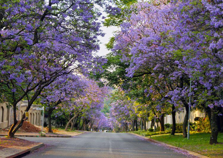 Street lined with Jacarandas, Joburg