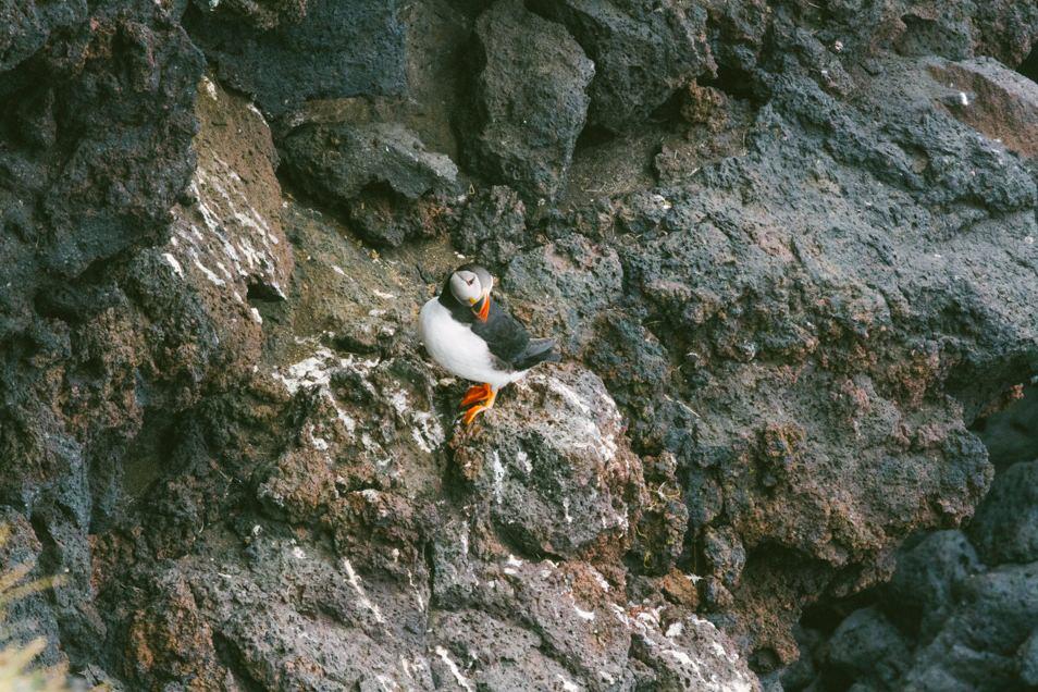 Puffins, Iles Vestmann, Islande