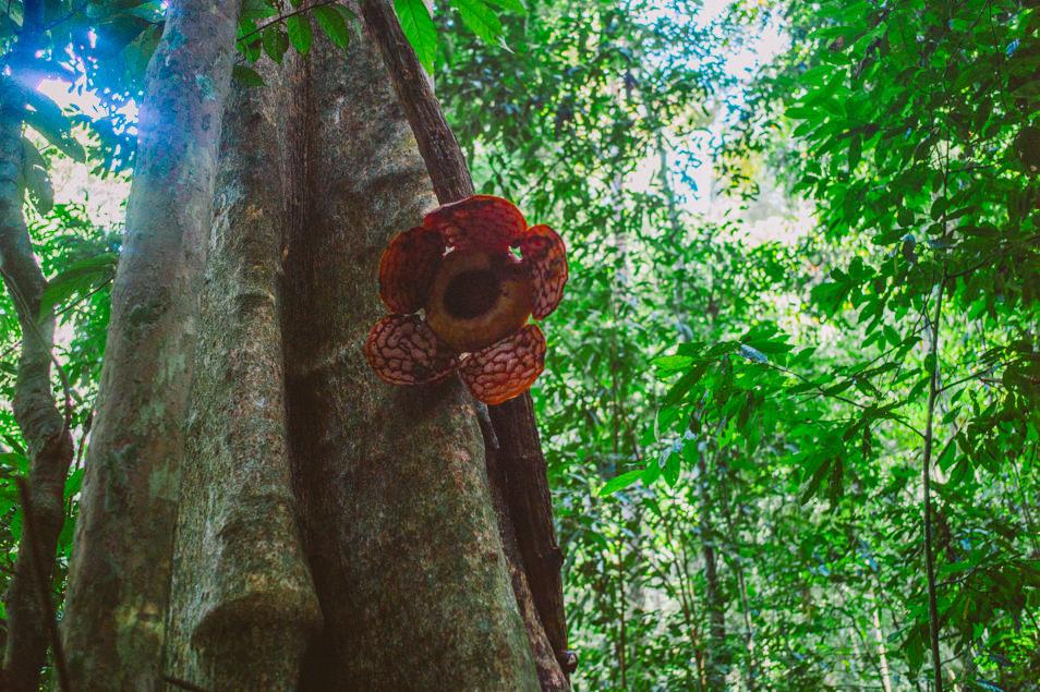 Rafflesia dans la jungle de Belum, Malaisie