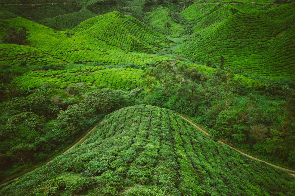 Champs de thé, Cameron Highlands, Malaisie