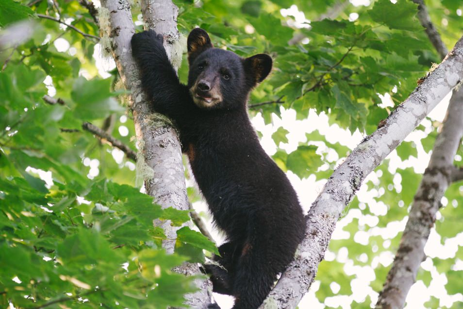 Little Big Bear Safari, road trip en Acadie, Nouveau Brunswick