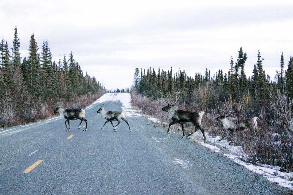Road trip en Alaska - Caribous