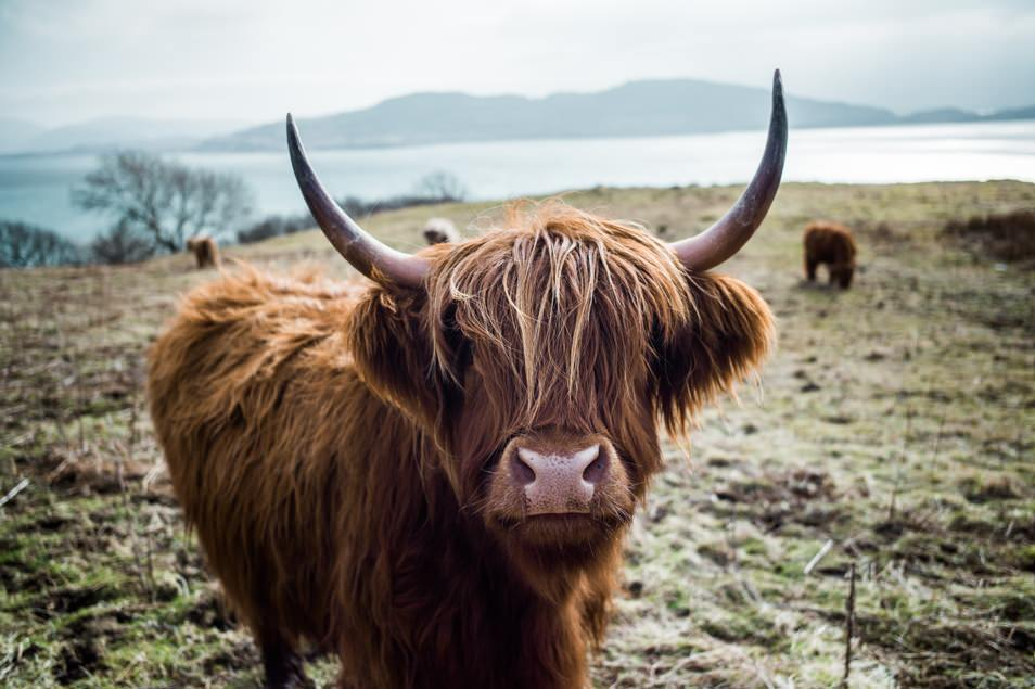 Road trip Ecosse, highland cow