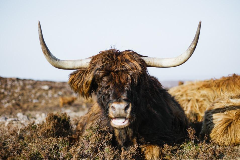 Highlands cow