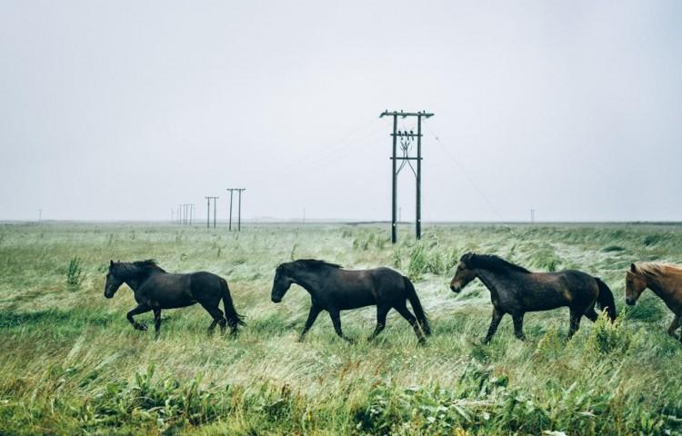 Voyage en Islande - Chevaux
