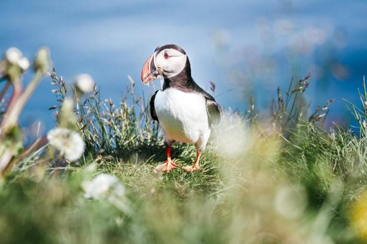 Voyage en Islande - Macareux