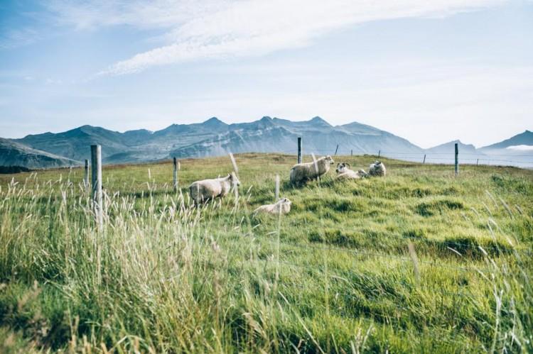 Voyage en Islande - Moutons
