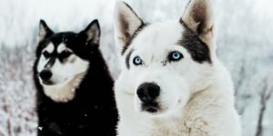 Tyrol Autriche : Husky