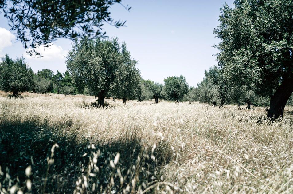Champs d'oliviers, Rhodes, Grèce